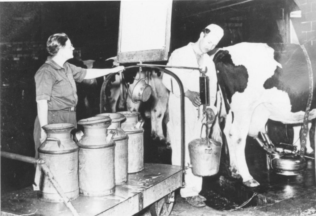 Old photo of cows being milked